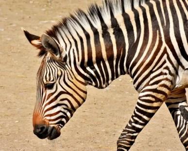 zebra-3326063