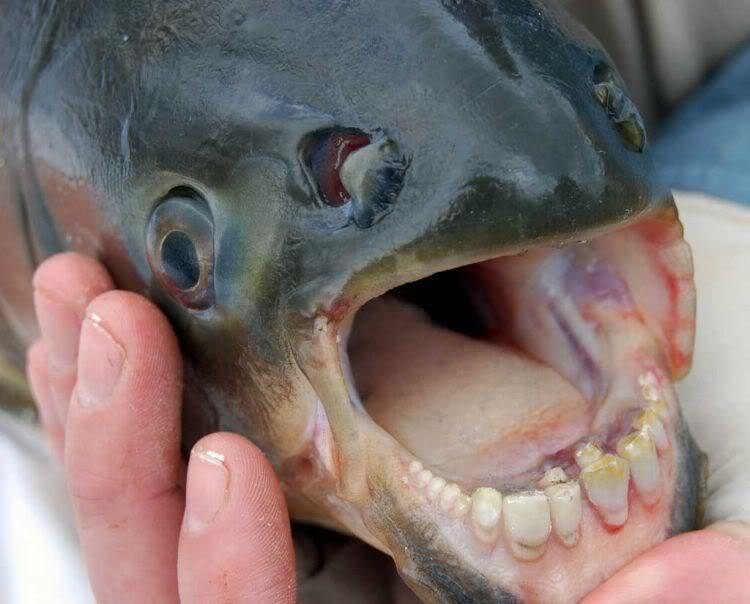 teeth fish