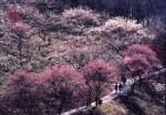 秋間梅林2015の開花と見頃はいつ?アクセスとおすすめ宿