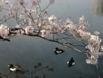 上野恩賜公園2016の桜の見ごろは?ボートに乗って水鳥とお花見を!