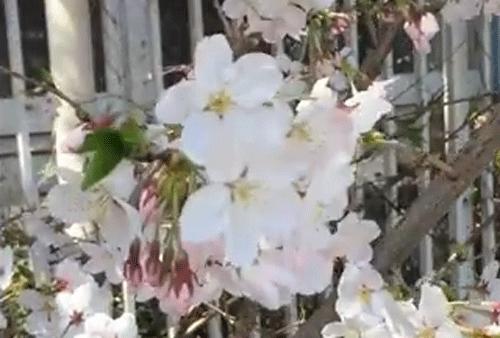 向島百花園の桜