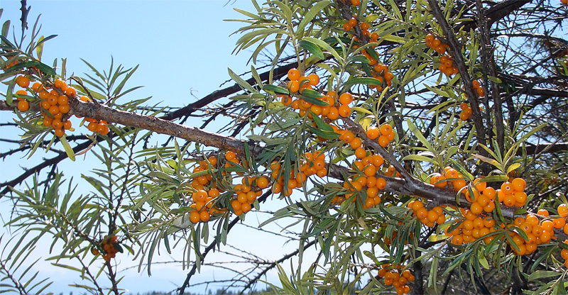 The Sea-Buckthorn