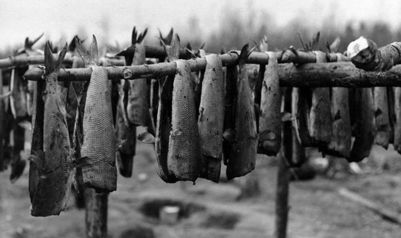 Fish drying on racks, 1899, U.S. Fish and Wildlife Service.