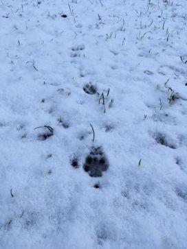 Eine Fuchsfährte im Schnee. Vorn im Bild ist der größte Fußabdruck zu sehen.