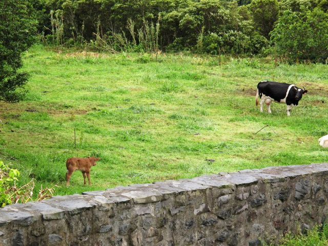 Rindernachwuchs auf der Wiese in Lomba   Waldspaziergang.org