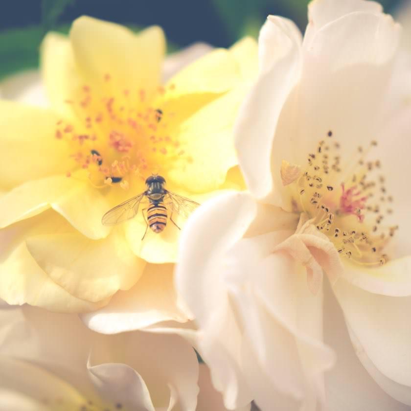 Schwebfliege auf Rosen | waldspaziergang.org