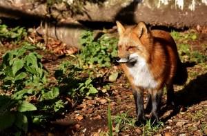 Naturerfahrungen in der Großstadt: Auch die Füchse haben ihren Anteil