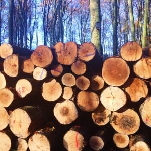 Buchenholz im Wald
