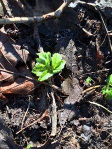 Einer der ersten Frühlingsboten: junger Giersch
