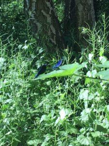 Blauflügel Prachtlibellen