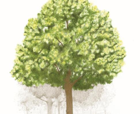 """Die Linde aus dem Buch """"Der Baumsammler"""" von Kathrin Blum"""