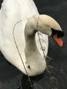 Swan with large fishing hook caught in neck rescued from Roath Park, Cardiff