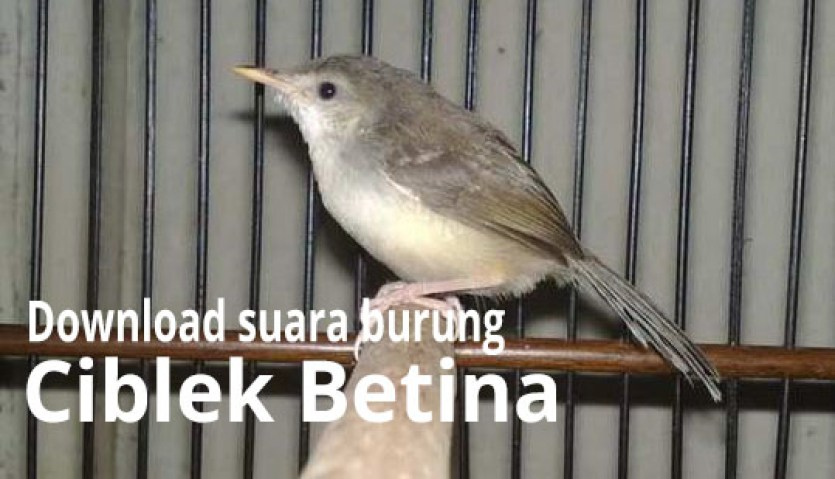 download suara burung ciblek betina