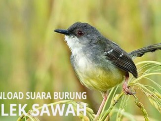 download suara burung ciblek sawah