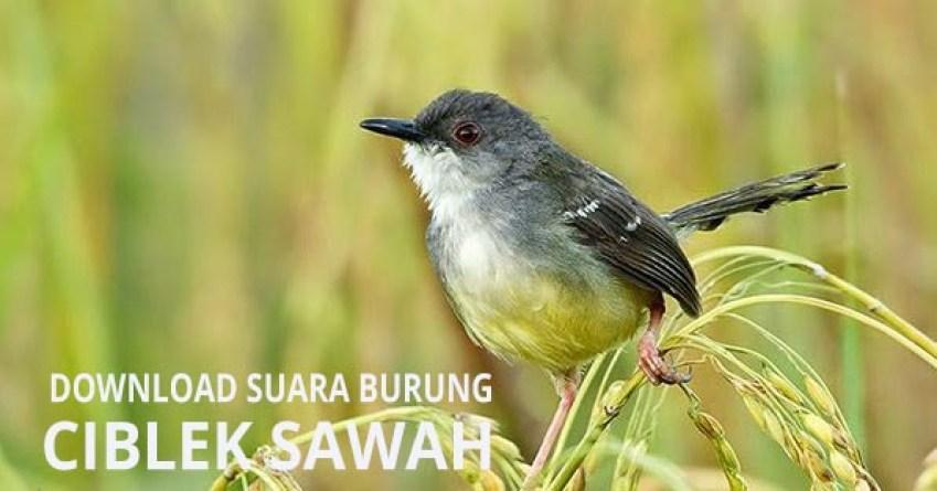 download suara burung ciblek sawah