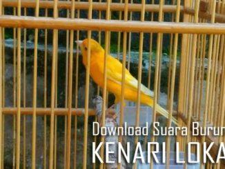 download suara burung kenari lokal