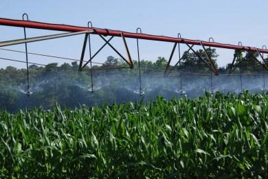 Thirsty Delaware corn