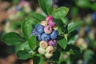 The colors of blueberries