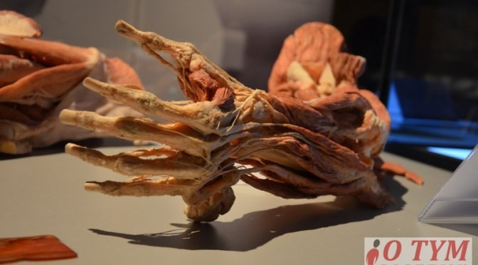 BODY WORLDS & The Cycle of Life 2015