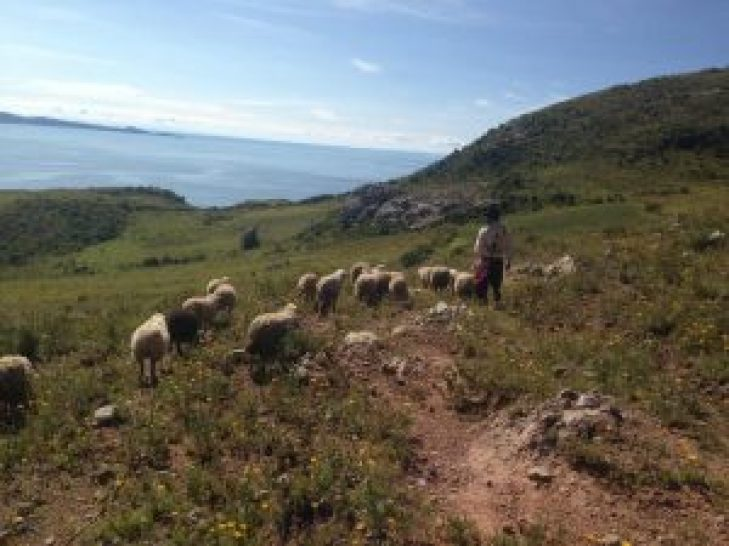 moving the sheep at our puno homestay