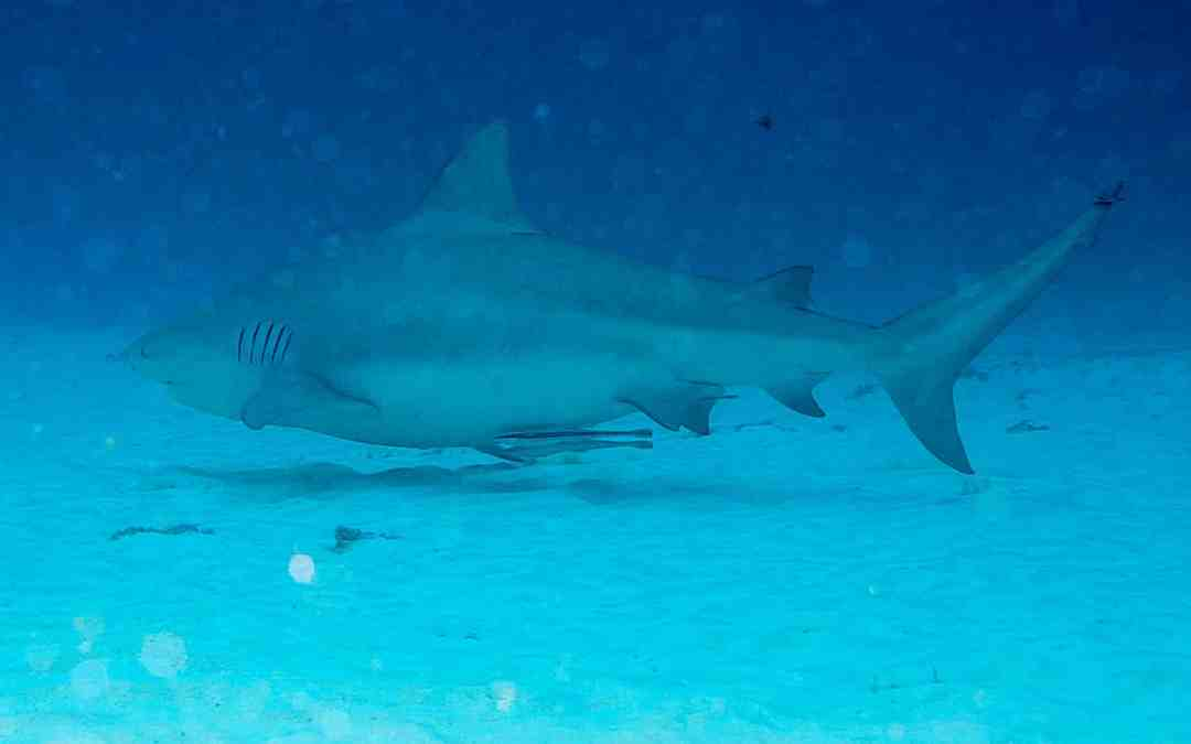 Bull Shark Diving in Playa del Carmen
