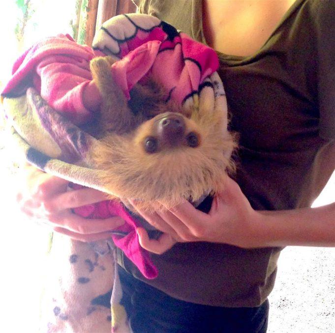 jaguar rescue center sloth