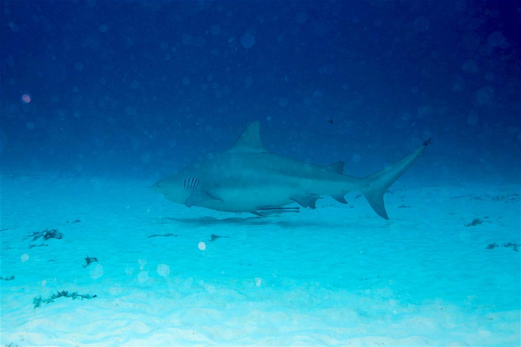 Bull shark in Playa del Carmen