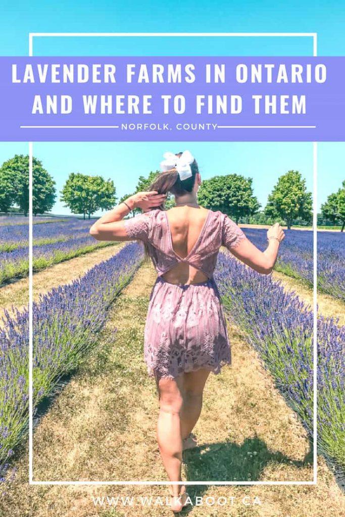 exploring lavender fields in ontario