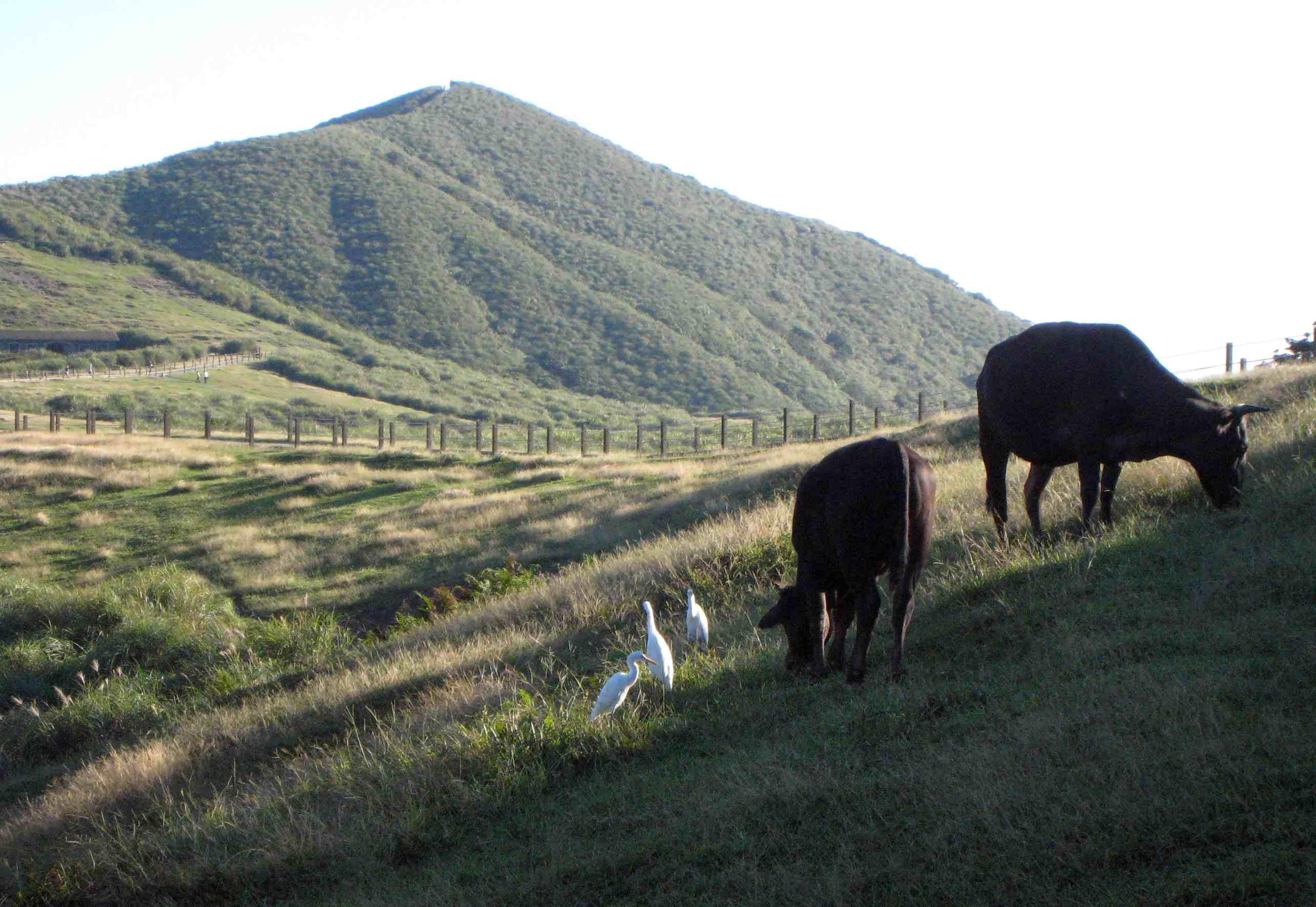 擎天崗牛和白鶴IMG_4402