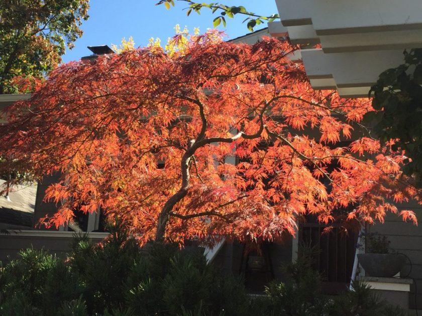 Ashland, tree