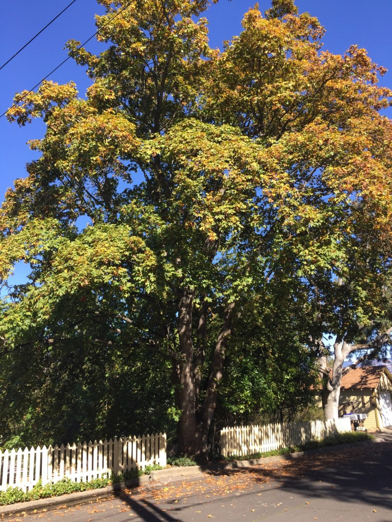 Ashland, oak tree