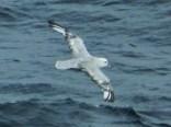Southern Fulmar (Fulmarus glacialoides)
