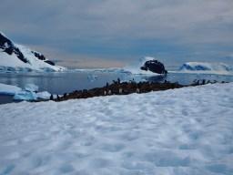 Gentoo Penguin colony atop a hill on Danco Island