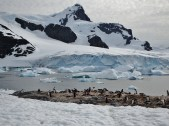 Gentoo Penguin colony on Cuverville Island