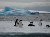 Adelie Penguins near Brown Bluff