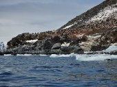 Adelie Penguin nesting colony on Brown Bluff