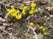 Spring Aconites