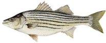 striped-bass