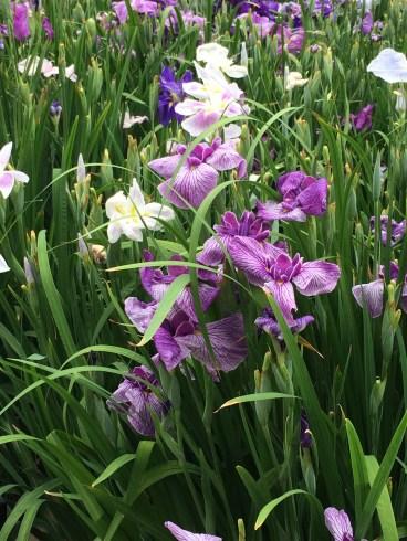 Horiki Iris Garden