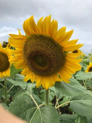 Sun Flower in Akeno-cho