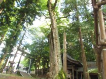 Cedars and Onbashira, the Pillar of Hon-Miya of Suwa Taisha