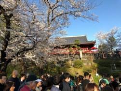 Cherry Blossoms and Kiyomizu Kannondo Temple in Ueno Park