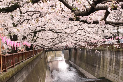 Cherry Trees over the Megurogawa River