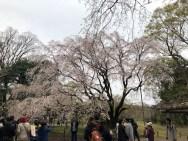 Weeping Cherry in Rikugien Gardens