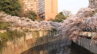 Cherry Blossoms over Kanda River