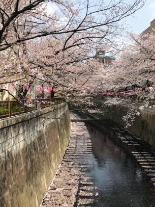 Cherry Blossoms over Meguro River