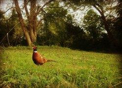 Pheasant on Leafy Loop Walk Durrow