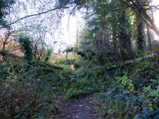 Fallen tree on riverbank walk.