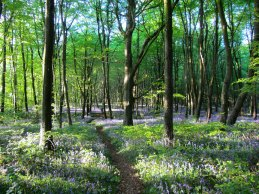 Caponnellan Wood, Durrow - Bluebell Walk.