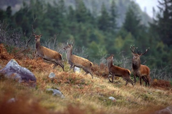 Red deer and stag in Killarney National Park during walking holiday in Ireland